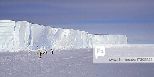 Kaiserpinguine (Aptenodytes forsteri) vor Eisbergen  Atka Bay  Weddellmeer  Antarktis  Antarktika