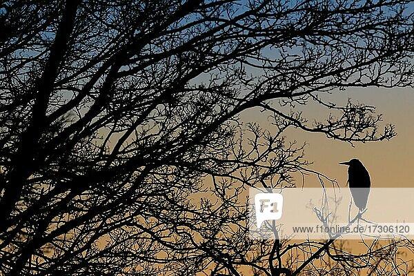 Ein Graureiher (Ardea cinerea) sitzt bei Sonnenaufgang auf einem Baum  Nordrhein-Westfalen  Deutschland  Europa