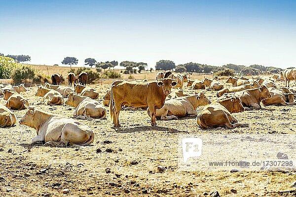 Rinderherde auf dem Bauernhof in Alentejo während eines sonnigen Tages  Portugal  Europa