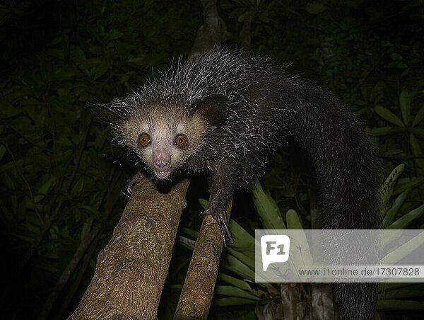 Aye-aye (Daubentonia madagascariensis) in the rainforests of Eastern Madagascar  Madagascar  Africa