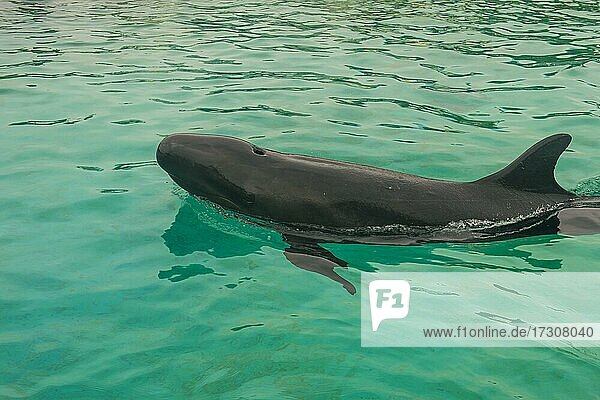 Short-finned Pilotwhale (Globicephala macrorhynchus)  Ocean Expo Park  Okinawa  Japan  Asia
