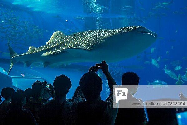 Whaleshark in the Churaumi Aquarium  Ocean Expo Park  Okinawa  Japan  Asia