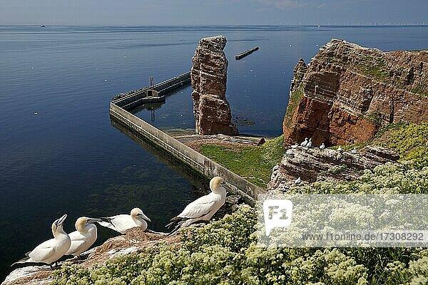 Nesting gannets (Morus bassanus)  red sandstone rocks off Lange Anna and the North Sea  Helgoland  Schleswig-Holstein  Germany  Europe