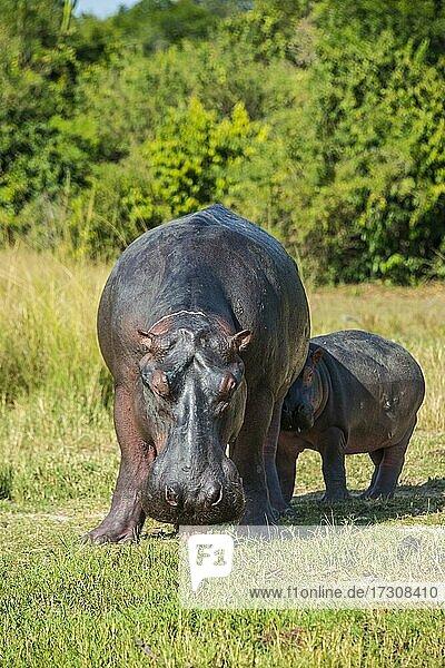 Hippopotamus (Hippopotamus amphibius)  mother with baby  Murchison Falls National Park  Uganda  Africa