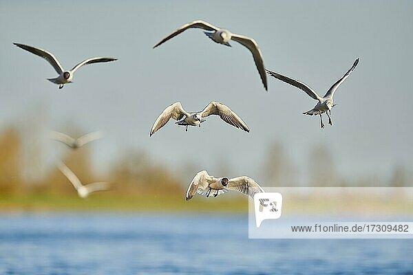 Lachmöwen (Chroicocephalus ridibundus) fliegen über dem Fluss Donau  Bayern  Deutschland  Europa