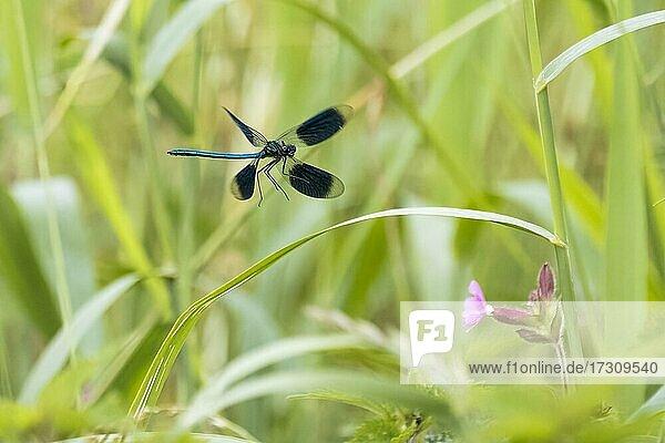 Gebänderte Prachtlibelle (calopteryx splendens) Männchen  im Anflug auf Schilfhalm  Hessen  Deutschland  Europa