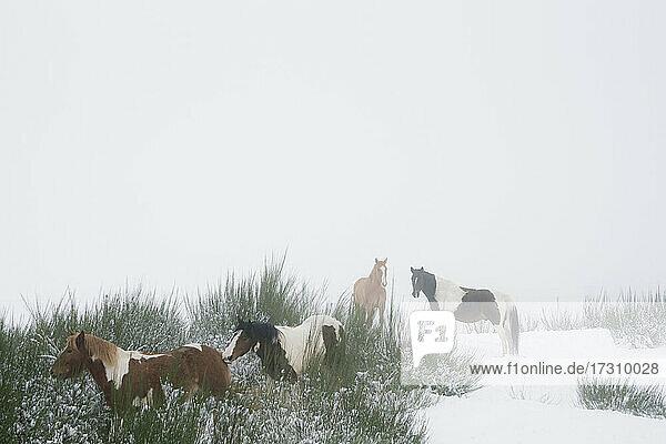 Braune und weiße Pferde im verschneiten Feld
