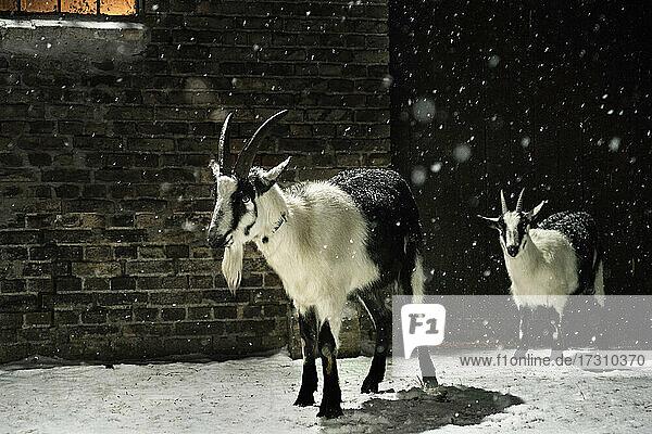 Schwarze und weiße Ziegen im Schnee