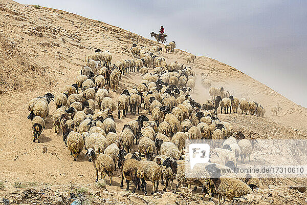 Shepherd with his sheep  Mosul  Iraq  Middle East