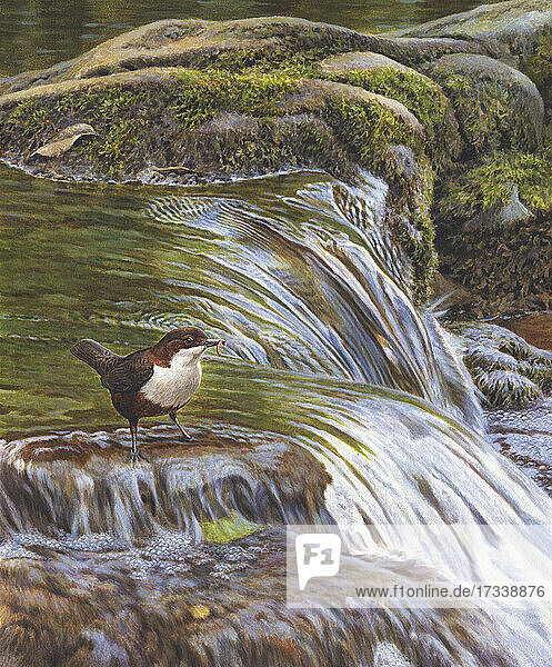 Wasseramsel mit Futter im Schnabel im fließenden Fluss