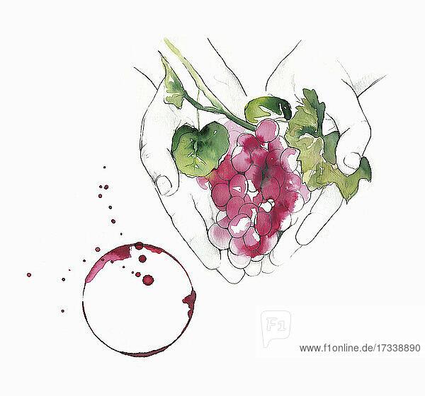 Hände halten rote Trauben neben einem Weinglasfleck
