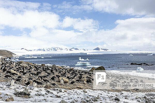 Adelie penguins (Pygoscelis adeliae)  at their breeding colony at Brown Bluff  Antarctica  Polar Regions