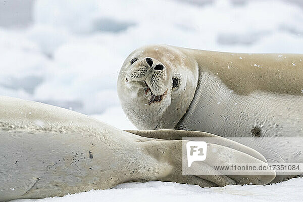 Adult crabeater seals (Lobodon carcinophaga)  hauled out on the ice in Antarctic Sound  Weddell Sea  Antarctica  Polar Regions