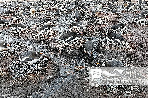 Adult gentoo penguins (Pygoscelis papua)  on nests at Barrientos Island  South Shetland Islands  Antarctica  Polar Regions