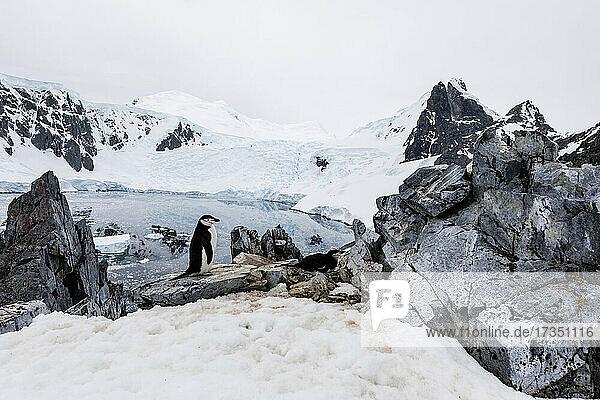 Chinstrap penguin (Pygoscelis antarcticus)  nesting site high on the hill in Orne Harbor  Antarctica  Polar Regions