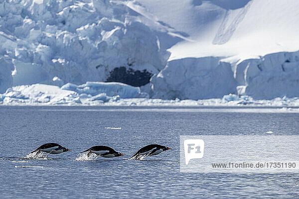 Adult gentoo penguins (Pygoscelis papua)  porpoising in the sea to feed  Paradise Bay  Antarctica  Polar Regions