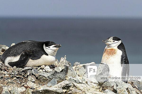 A pair of chinstrap penguins (Pygoscelis antarcticus)  on Robert Island  South Shetland Islands  Antarctica  Polar Regions