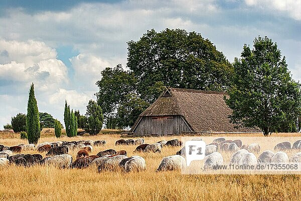 Heidschnucken and old sheep pen  Lüneburg Heath  Lower Saxony  Germany  Europe