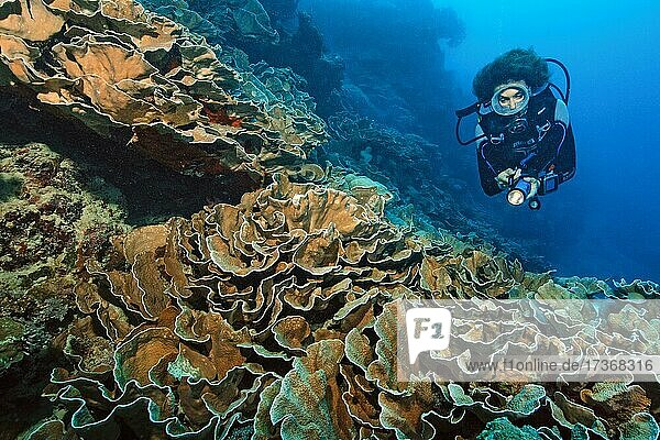 Diver looking at disc coral (Turbinaria conspicua)  Pacific Ocean  Yap Island  Federated States of Micronesia