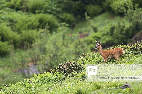 Female doe  European roe deer (Capreolus capreolus)  on mountain meadow  Tyrol  Austria  Europe Female doe, European roe deer (Capreolus capreolus), on mountain meadow, Tyrol, Austria, Europe