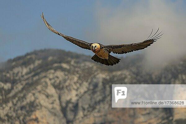 Bartgeier (Gypaetus barbatus) adult im Flug vor Bergen  Pyrenäen  Katalonien  Spanien  Europa Bartgeier (Gypaetus barbatus) adult im Flug vor Bergen, Pyrenäen, Katalonien, Spanien, Europa