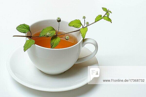 Aztekisches Süßkraut und Tasse Tee  Deutschland  Europa Aztekisches Süßkraut und Tasse Tee, Deutschland, Europa