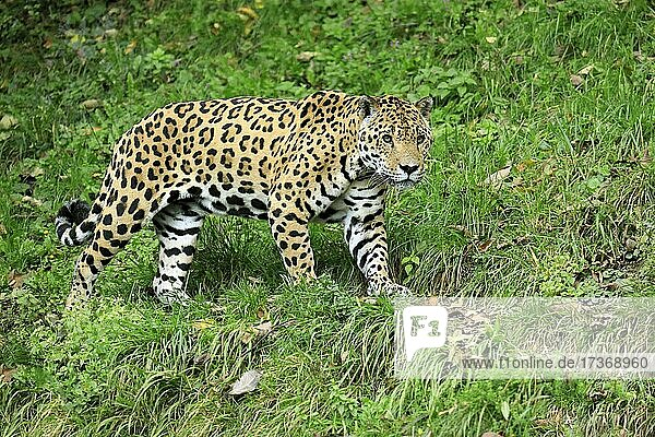 Jaguar (Panthera onca)  adult  wachsam  pirschend  captive Jaguar (Panthera onca), adult, wachsam, pirschend, captive