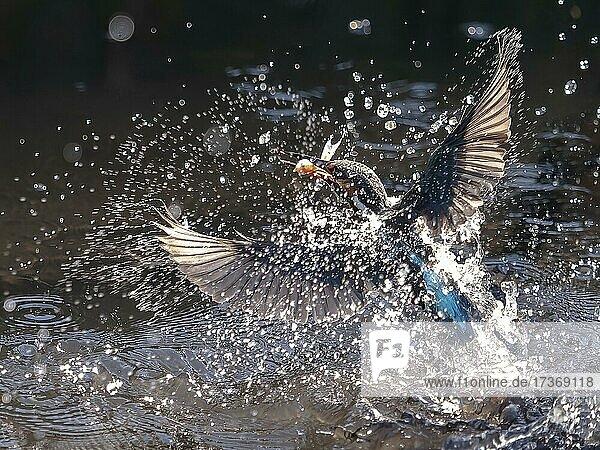 Fischender Eisvogel (Alcedo atthis) auftauchend mit einem Fisch  Nordrhein-Westfalen  Deutschland  Europa Fischender Eisvogel (Alcedo atthis) auftauchend mit einem Fisch, Nordrhein-Westfalen, Deutschland, Europa