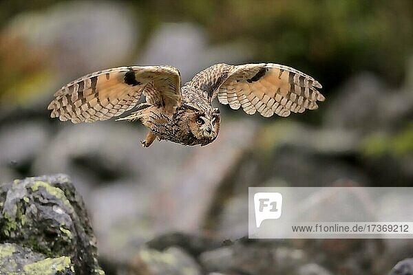 Long-eared owl (Asio otus)  adult  flying  autumn  Bohemian Forest  Czech Republic  Europe Long-eared owl (Asio otus), adult, flying, autumn, Bohemian Forest, Czech Republic, Europe
