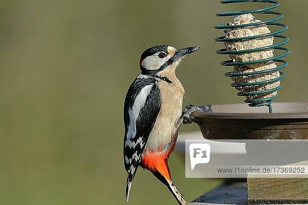 Buntspecht (Dendrocopos major)  Männchen  sitzt an einer Vogelfütterung  Nordrhein-Westfalen  Deutschland  Europa Buntspecht (Dendrocopos major), Männchen, sitzt an einer Vogelfütterung, Nordrhein-Westfalen, Deutschland, Europa
