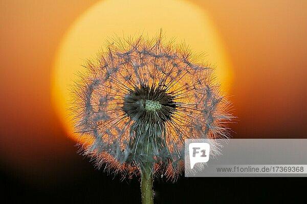Dandelion at sunset  Germany  Europe Dandelion at sunset, Germany, Europe