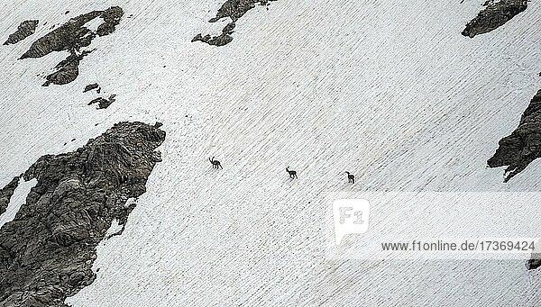 Drei Alpensteinböcke (Capra ibex) auf einem Schneefeld  Heilbronner Weg  Allgäuer Alpen  Allgäu  Bayern  Deutschland  Europa Drei Alpensteinböcke (Capra ibex) auf einem Schneefeld, Heilbronner Weg, Allgäuer Alpen, Allgäu, Bayern, Deutschland, Europa