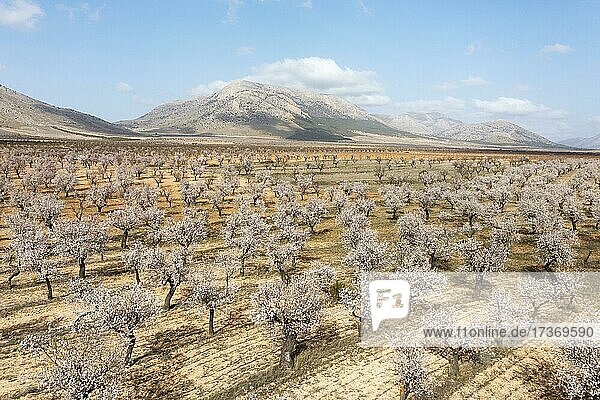 Cultivated almond trees (Prunus dulcis) in full blossom in February  aerial view  drone shot  Almería province  Andalusia  Spain  Europe Cultivated almond trees (Prunus dulcis) in full blossom in February, aerial view, drone shot, Almería province, Andalusia, Spain, Europe