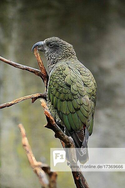 Kea  Bergpapagei (Nestor notabilis)  adult  auf Warte  captive  Neuseeland  Ozeanien Kea, Bergpapagei (Nestor notabilis), adult, auf Warte, captive, Neuseeland, Ozeanien
