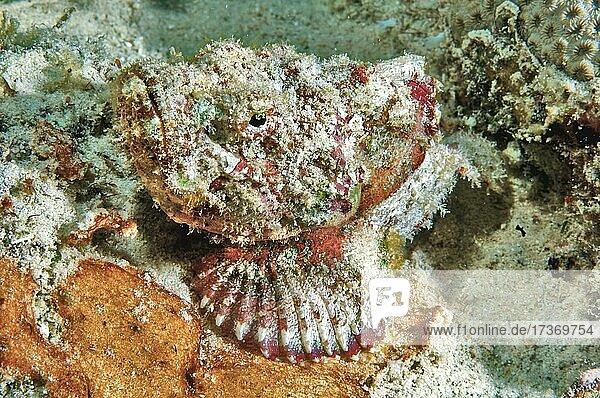 Falscher Steinfisch (Scorpaenopsis diabolus)  liegt getarnt auf Meeresgrund  Indischer Ozean  Mauritius  Afrika Falscher Steinfisch (Scorpaenopsis diabolus), liegt getarnt auf Meeresgrund, Indischer Ozean, Mauritius, Afrika