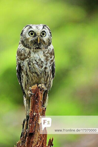 Rauhfußkauz (Aegolius funereus)  adult  auf Warte  wachsam  Böhmerwald  Tschechien  Europa Rauhfußkauz (Aegolius funereus), adult, auf Warte, wachsam, Böhmerwald, Tschechien, Europa