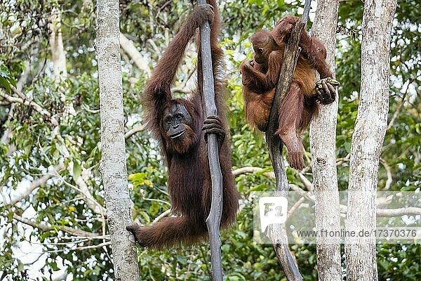 Bornean Orangutan (Pongo pygmaeus)  Tanjung Puting National Park  Central Kalimantan  Borneo  Indonesia Bornean Orangutan (Pongo pygmaeus), Tanjung Puting National Park, Central Kalimantan, Borneo, Indonesia