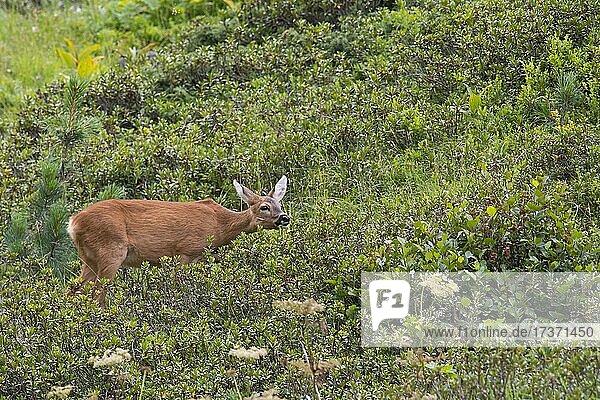 Roe goat (Capreolus capreolus) on mountain meadow  Tyrol  Austria  Europe