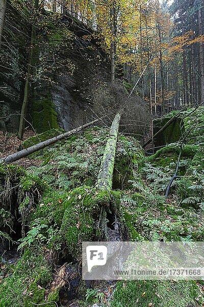Spitzstein Gorge in the Kirnitzsch Valley  Elbe Sandstone Mountains  Saxon Switzerland National Park  Germany  Europe