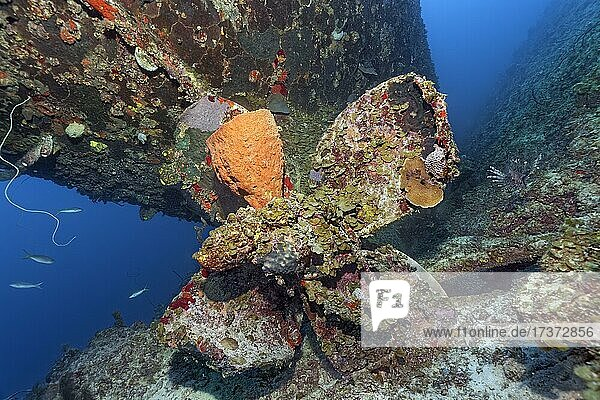 Reticulated barrel sponge (Verongula gigantea) growing on propeller  propeller tug  wreck  shipwreck  Virgen de Altagracia  Caribbean Sea near Playa St. Lucia  Camagüey Province  Caribbean  Cuba  Central America