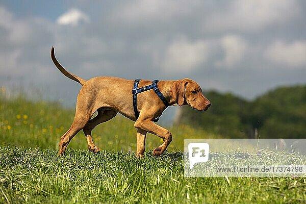 Vizsla puppy  4 months  running on a meadow  Baselland  Switzerland  Europe