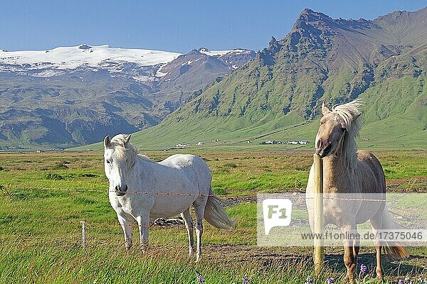 Icelandic horses at the pasture fence  mountains and glaciers  Eyjafjallajökull  south iceland