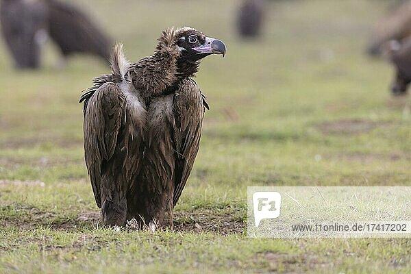 Cinereous vulture (Aegypius monachus) on the ground at the feeding ground  Extremadura  Spain  Europe