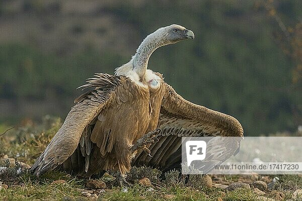 Griffon vulture (Gyps fulvus) threatening on the ground  Pyrenees  Catalonia  Spain  Europe