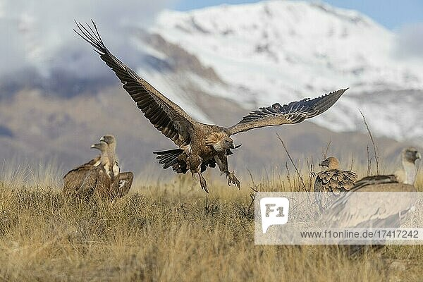 Griffon vulture (Gyps fulvus) in flight just above the ground with snow-capped mountains in the background  Pyrenees  Catalonia  Spain  Europe