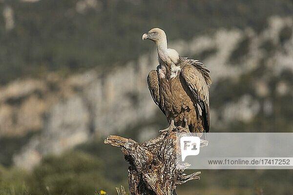 Griffon vulture (Gyps fulvus) on tree stump  Pyrenees  Catalonia  Spain  Europe