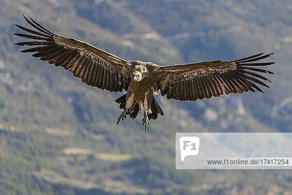 Griffon vulture (Gyps fulvus) landing at feeding site  Pyrenees  Catalonia  Spain  Europe