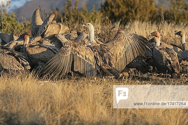 Densely packed griffon vultures (Gyps fulvus) at the feeding ground  Pyrenees  Catalonia  Spain  Europe