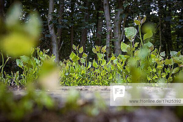 Neue Triebe spriessen aus dem Baumstumpf einer gefällten Pappel