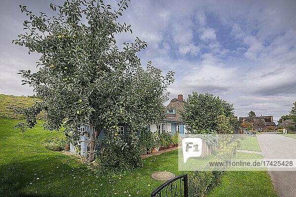 Alter Apfelbaum im Garten einer Reetdachkate im Dorf Seestermühe (Kreis Pinneberg)  spätsommerlich